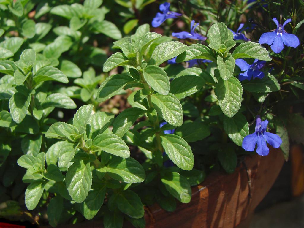 Garden Herbs - English Pennyroyal - Mentha Pulegium