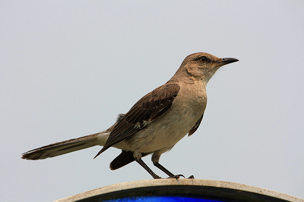 mockingbird adult our beautiful florida state bird