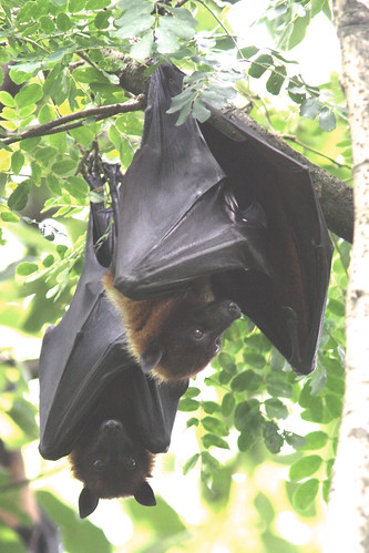 Indian Flying Fox by Enam Ul Haque