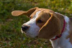2617344565 fe185584fa m Beagle Dog Breed: Fun loving Family Pet