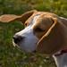 Small photo of Bunia Beagle