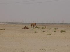 Camels 015