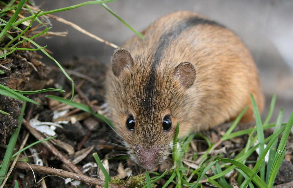 Картинки по запросу мышь полевая