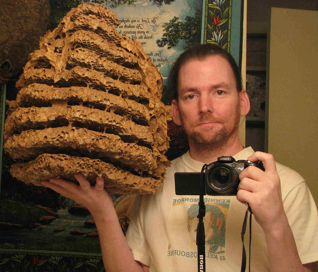 EUROPEAN HORNET NEST WITH COMBS EXPOSED