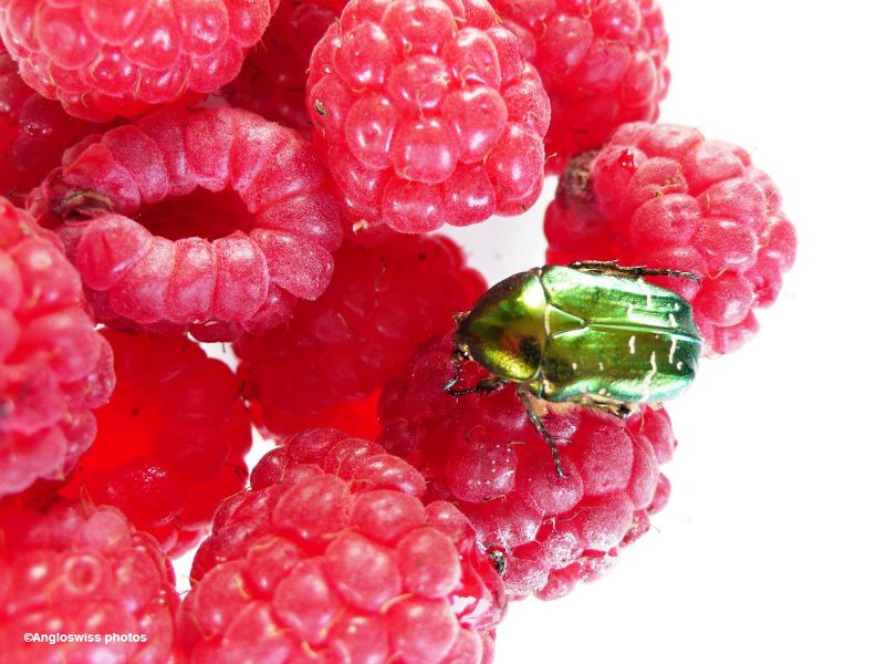 Rose Beetle on raspberries