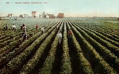 Celery Fields near Westminster, circa 1900