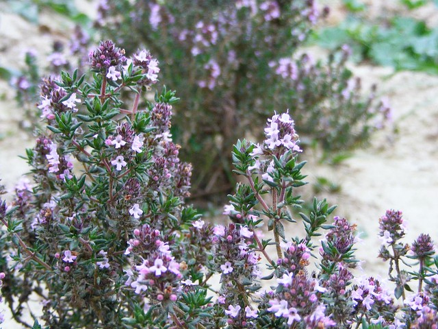 Tomillo sobre tomillo / Thyme over thyme