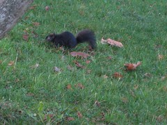 Black squirrel of Stanley park