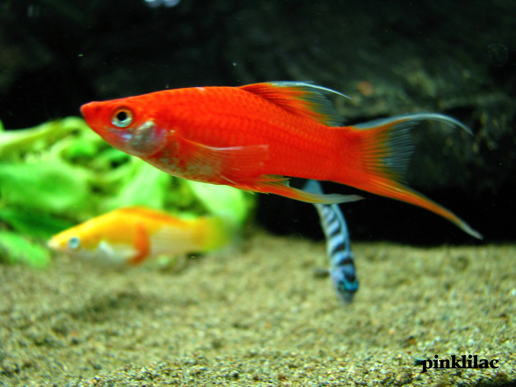 Freshwater aquarium fish with red eyes - Freshwater Aquarium Fish With Red Eyes