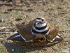 Killdeer, Charadrius vociferus, distraction display at Merced National Wildlfir Refuge, Los Banos, CA by Donald Quintana