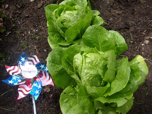 Lettuce Cose-up