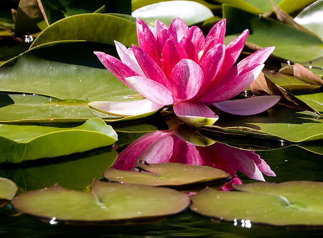 Red Water Lily with water reflection