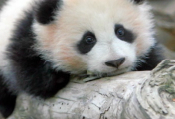 Baby panda Zhen Zhen turns 1 tribute video
