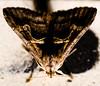 Polilla / Moth por jmrobledo