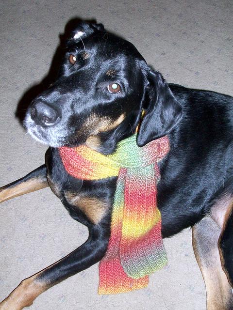 Lola modeling #OneRowScarf #DogMomsWhoKnit #LapdogCreations