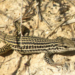 Whiptail Lizard, Carlsbad, New Mexico