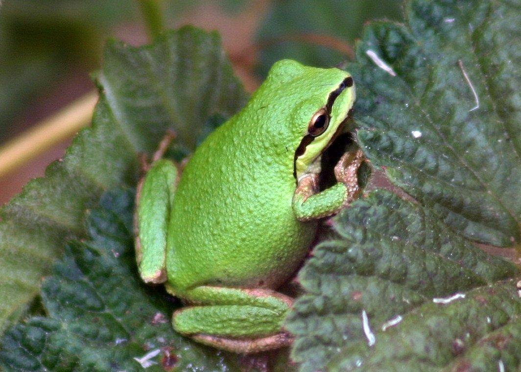 Sierran Tree Frog (Pseudacris sierra) · iNaturalist.org