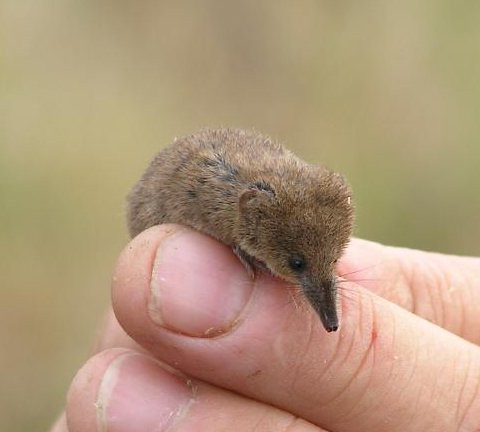 Image result for pygmy shrew