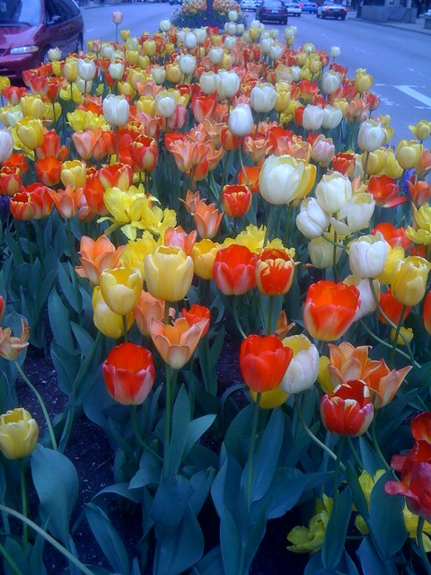 The tulips make everything into a cartoon world (3)