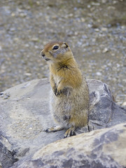animal, rodent, prairie dog, fauna, marmot, whiskers, wildlife,