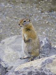 animal, rodent, prairie dog, fauna, marmot, whiskers, wildlife,
