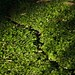 Small photo of Leaf cutter ant trail
