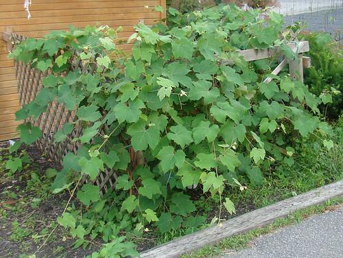 grapes 74butternut