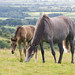 Small photo of Mum & Foal