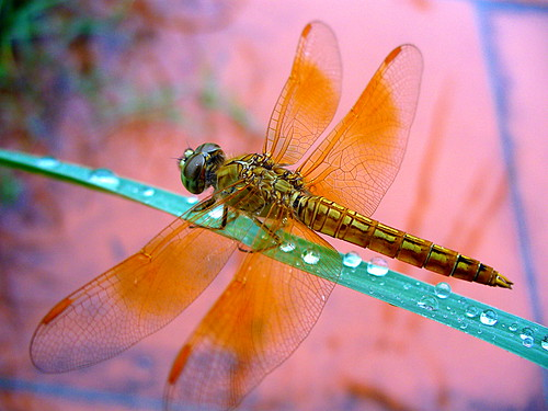 Gold Vietnamese Dragonfly