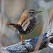 Winter Wren - Photo (c) Jerry Oldenettel, some rights reserved (CC BY-NC-SA)
