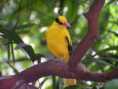 Oriolus chinensis (Black-naped Oriole)