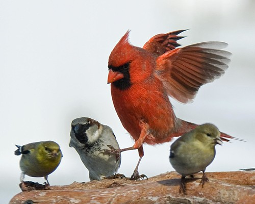 An Agressive Cardinal!
