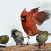 An Agressive Cardinal! by Momba (Trish)