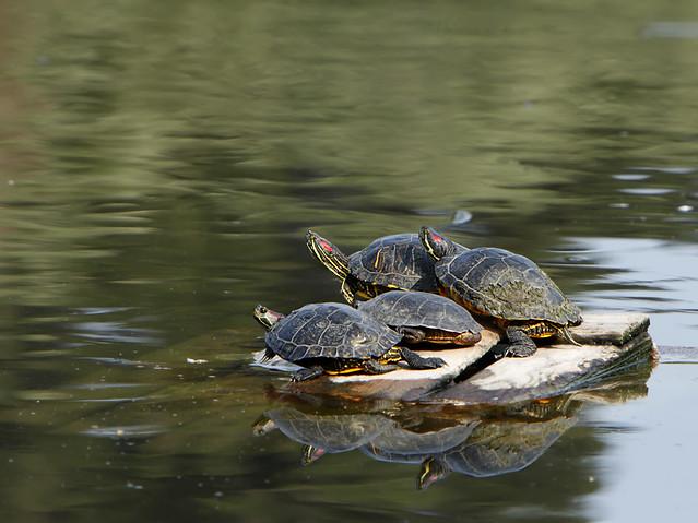 Red-eared Slider turtles Flickr - Photo Sharing!