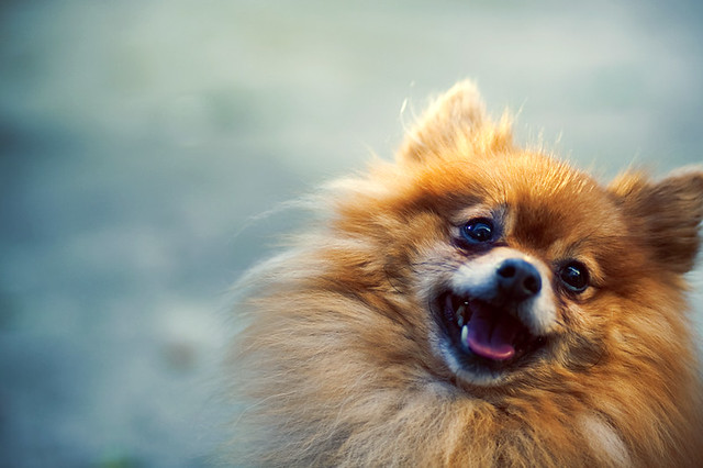 Spitz! - a gallery on Flickr