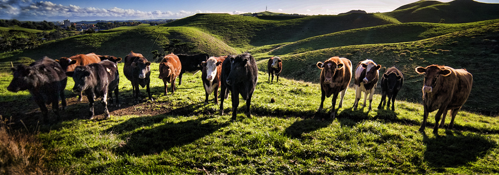 Line up of cows