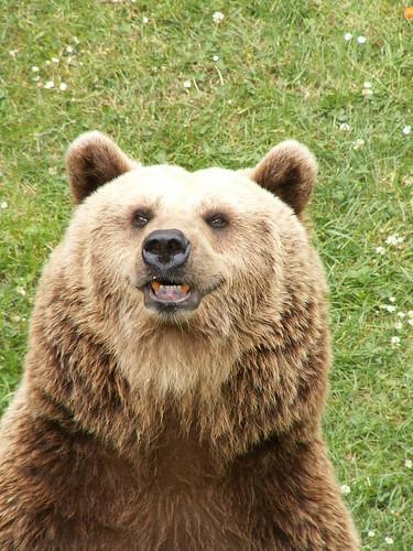 Der Bär Ursidae vor dem man sich hütet, ohne ihn wirklich zu fürchten 374