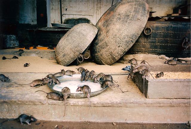 rat temple bikaner 2