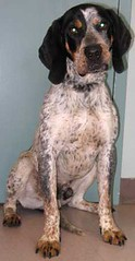 setter(0.0), spaniel(0.0), dog breed(1.0), animal(1.0), dog(1.0), pet(1.0), braque d'auvergne(1.0), carnivoran(1.0),