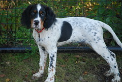 dog breed, animal, english setter, dog, pet, stabyhoun, small mã¼nsterlã¤nder, russian spaniel, spaniel, english springer spaniel, carnivoran,