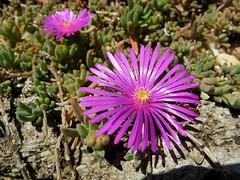 dorotheanthus bellidiformis(1.0), annual plant(1.0), flower(1.0), plant(1.0), karkalla(1.0), macro photography(1.0), wildflower(1.0), flora(1.0), ice plant(1.0), petal(1.0),
