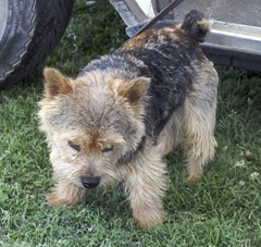 berger picard(0.0), schnoodle(0.0), australian silky terrier(0.0), dandie dinmont terrier(0.0), welsh terrier(0.0), cairn terrier(0.0), west highland white terrier(0.0), dog breed(1.0), animal(1.0), dog(1.0), pet(1.0), norfolk terrier(1.0), glen of imaal terrier(1.0), vulnerable native breeds(1.0), norwich terrier(1.0), lakeland terrier(1.0), australian terrier(1.0), carnivoran(1.0), terrier(1.0),