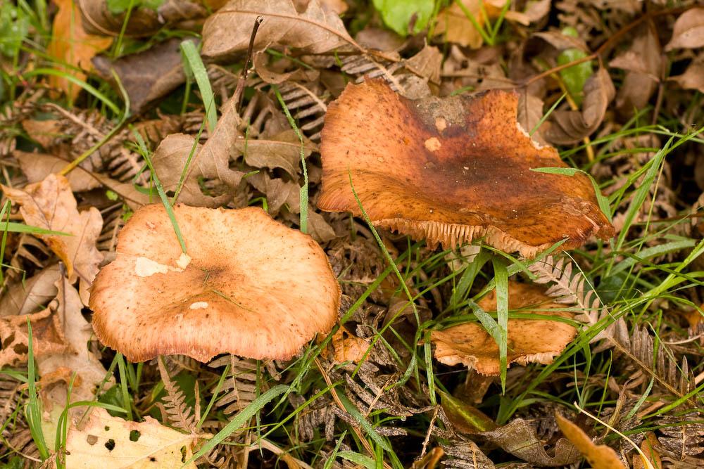 False Saffron Milkcap Lactarius deterrimus