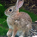 Desert Cottontail - Photo (c) Howard Cheng, some rights reserved (CC BY-SA)
