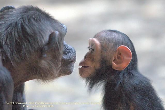 Baby Chimp and Mum, Monkey World, Dorset, UK