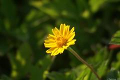 Yellow flower @ Swaminarayan Temple