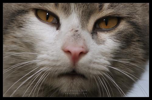 Zeyrekli kedi hayvanı.