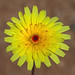 desert dandelions - Photo (c) Steve Berardi, some rights reserved (CC BY-SA)