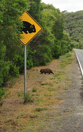 Wombat at the Crossing