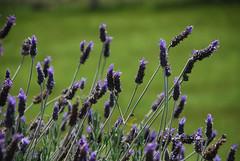 hyssopus(0.0), prairie(0.0), field(0.0), grass(0.0), lavandula dentata(1.0), flower(1.0), purple(1.0), english lavender(1.0), plant(1.0), nature(1.0), lavandula stoechas(1.0), lavender(1.0), lavender(1.0), macro photography(1.0), herb(1.0), wildflower(1.0), flora(1.0), meadow(1.0),